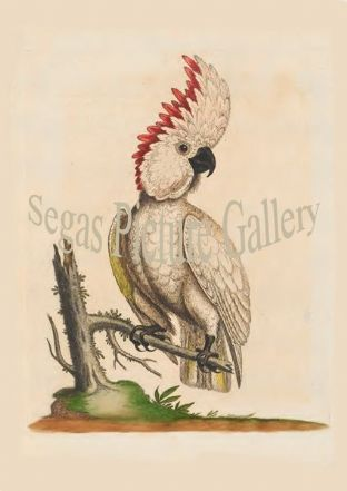 Cockatoo, Greater